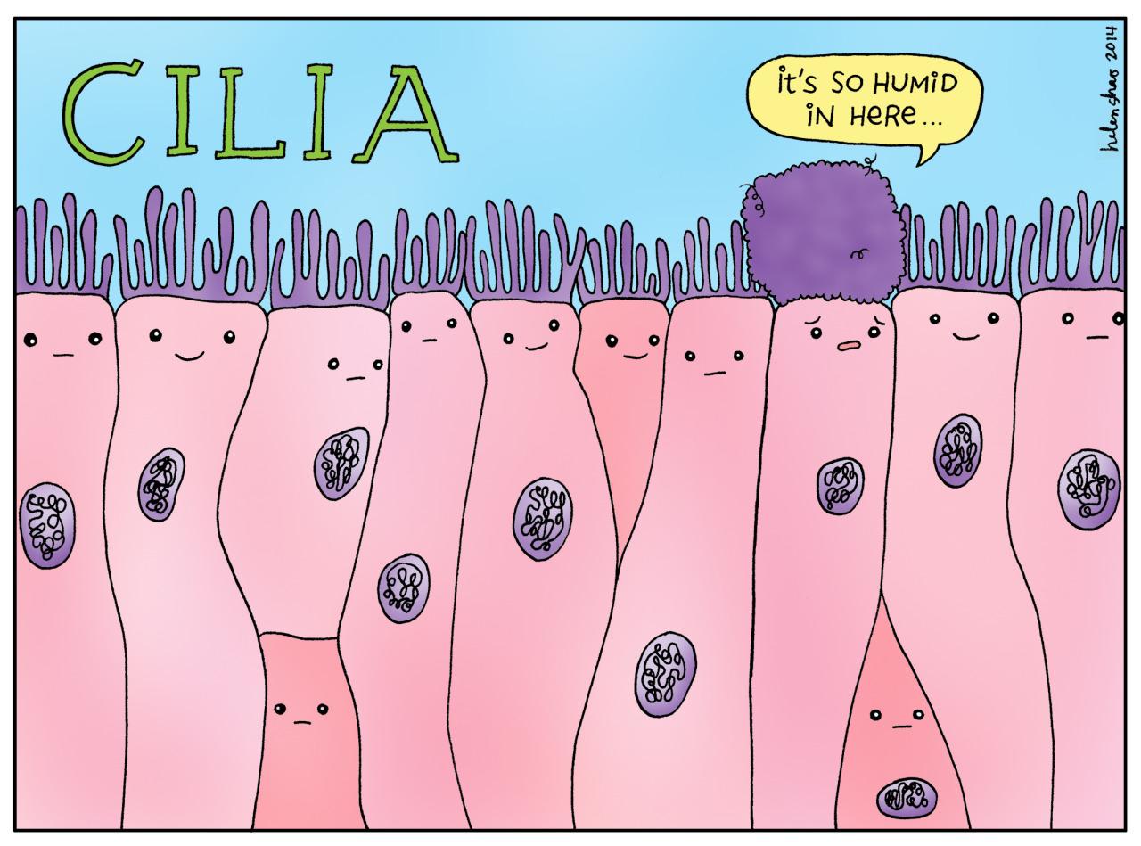 cilia